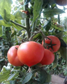 sap، سوبر ماص البوليمر التطبيق، الزراعة، الحراجة، الفاكهة، العشب في الحديقة