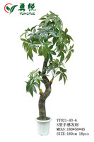 exotic 160cm height plant