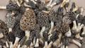 un grado de hongos secos morel para la venta