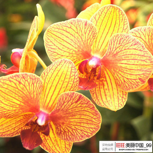 Yellow Butterfly Orchid 30pcs orchid seeds bonsai balcony flower ... Yellow Butterfly Orchid