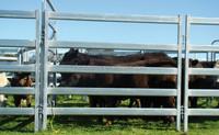 Australia 40X40X1.5mm Economy Durable Top Value Cattle Panel
