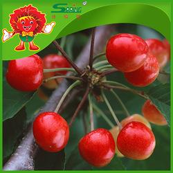 Top Grade Sweet cherries, fresh cherry fruit