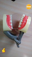 Practice Teeth Model with 32 Teeth and articulator