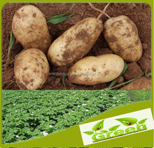 Large fresh potato with wholesale price