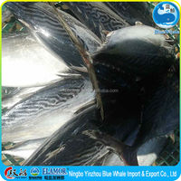 Good Frozen Bonito Meat tender and delicious