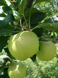 we are supply fresh apples ,2015 new crop fresh green apple with best price
