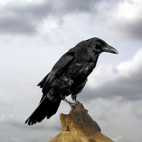 fur simulation mini small feather black plastic artificial crow