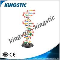 DNA molecule structure model