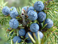 100 pure and natural Juniper berry essential oil