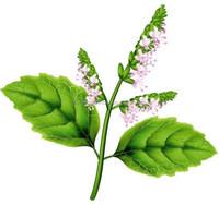 100% Pure Patchouli Oil For Exports |100% Natural Patchouli Oil