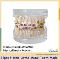 B2-01 Model 24pcs Plastic Ortho Metal Tooth Model