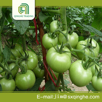 wholesale tomato and large tomato for sale