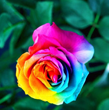 rainbow rose seeds for planting