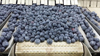 2015 new season export IQF frozen fruit prices and frozen blueberry boxes for packaging
