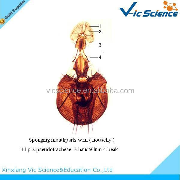 mouth parts of housefly w.m. microscope slide.JPG