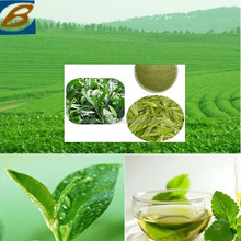Manufacturer Supply Health Tea Polyphenol Green Tea Extract