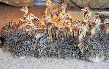 Ostrich Chicks and ostrich fertilized hatching eggs