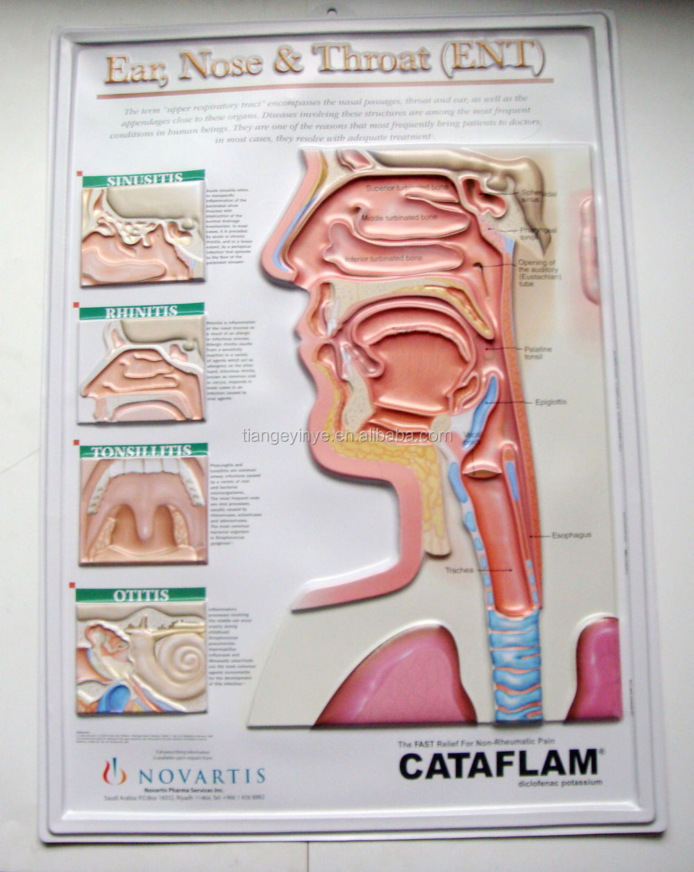 3d Ent Pvc Anatomical Chart Buy Pvc Anatomical Chart3d Anatomical