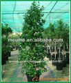 ficus diversifolia panda bonsai árboles