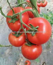 NT22 Aobao Venta caliente semillas de tomate híbridos grande de semillas de semillas de frutas vegetales