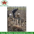 Importación raíz Elongata paulownia barato de China