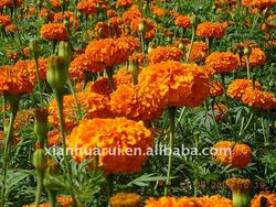 2015 supercritical marigold oleoresin