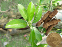 Herbal Extract Radix morinda officinalis extract,Morinda extract,Morinda officinalis How