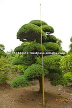 Japanese pine tree of large Bonsai outdoor plants