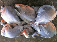 frozen red pomfret fish BQF whole round