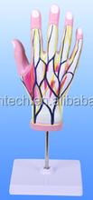 Regional Anatomy of the Hand, 4 parts