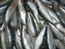 Frozen Sardine Fish Whole Round.