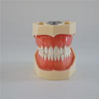 Fast shipping dental teaching model with transparent gum dental study model