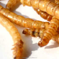 Factory Wholesale Freeze Dried Mealworms