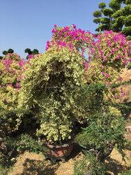 multicolor leaves blooming Bougainvillea spectabilis Willd of decorative ornamental outdoor indoor bonsai plants