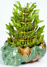 Lucky Bamboo (Tower Shaped)