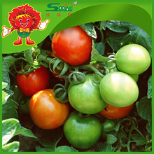 agricultural greenhouses for tomato red sun tomato