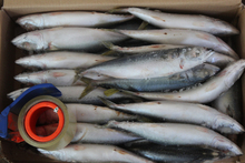 Origin from japanese horse mackerel frozen fish