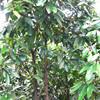 Rou gui zhi pure natural herb medicine for bio cinnamon twig