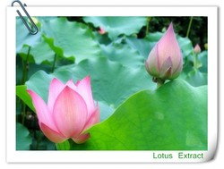 herbal extract Lotus Leaf Extract for loss weight