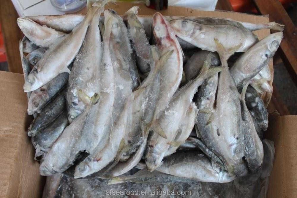 Garra Rufa Fish | Tanks and Supplies, Wholesale, Doctor ...