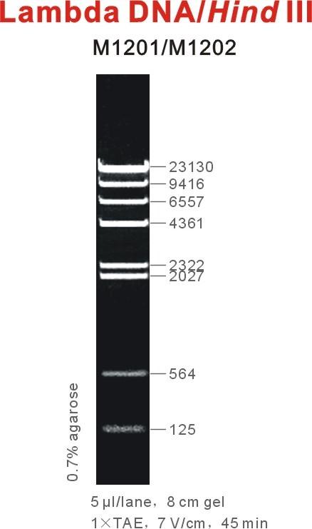 lambda DNA.jpg