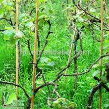 Nature Dry Straight green Bamboo gardon stake