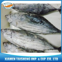 New Landing Frozen Bonito Skipjack Tuna With Good Quality