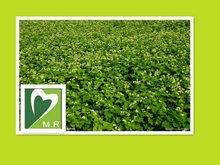 Fresh Organic Buckwheat Extract Dietary fiber&rutin For Medicine