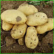 Chinese potato / yellow sweet potato enjoying great popularity