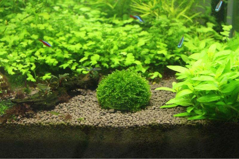 live cladophora marimo moss ballmarimo cladophora live