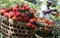 PREMIUM QUALITY RAMBUTAN FRUIT FROM INDONESIA