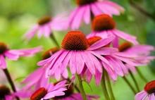 Echinacea purpurea extract Antibiotic ingredients