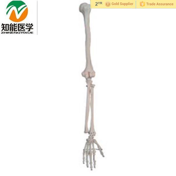 Anatomical Human Skeletal Arm Model Medical Skeleton Hand Limb