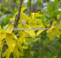 Weeping Forsythia Extract/Forsythin,phillyrin 0.5%,1.0%,1.5%,2.0%
